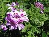 Rose Geranium 2000x1200 1