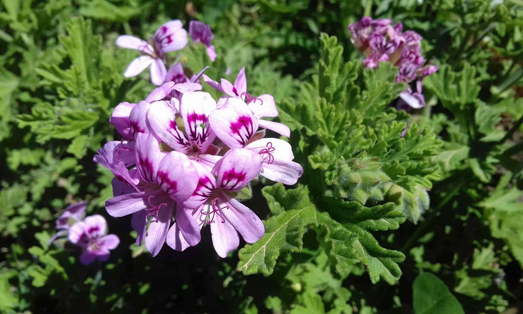 GERANIUM essential oil (Pelargonium graveolens)