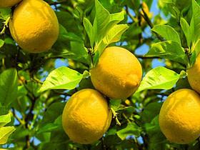 LEMON (Citrus limon) essential oil