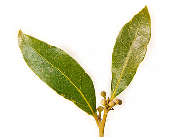 bay laurel