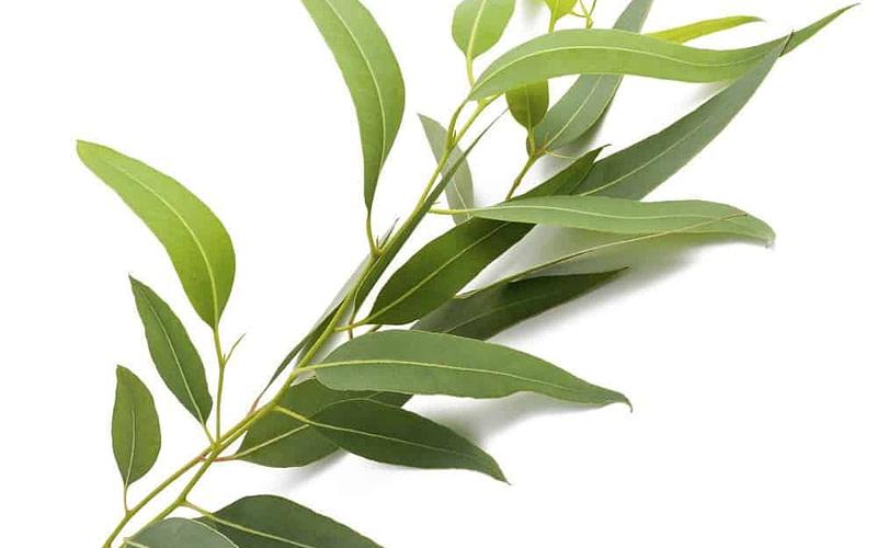EUCALYPTUS RADIATA (Eucalyptus radiata)